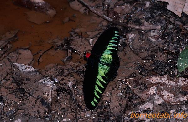 アカエリトリバネアゲハオス2002年5月 ダナンバレー