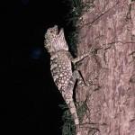 ボルネオゴモリドラゴン  Gonocephalus bornensis