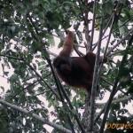 ボルネオオランウータン Pongo pygmaeus