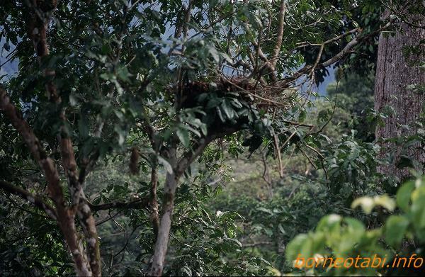 オランウータンの巣 1998年12月 ダナンバレー