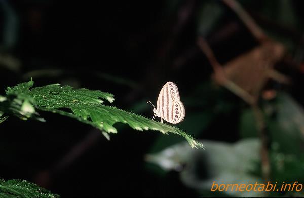 シマジャノメ 1998年12月 ダナンバレー