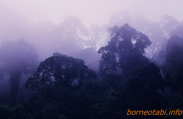 朝のフタバガキ林 1998年12月 ダナンバレー