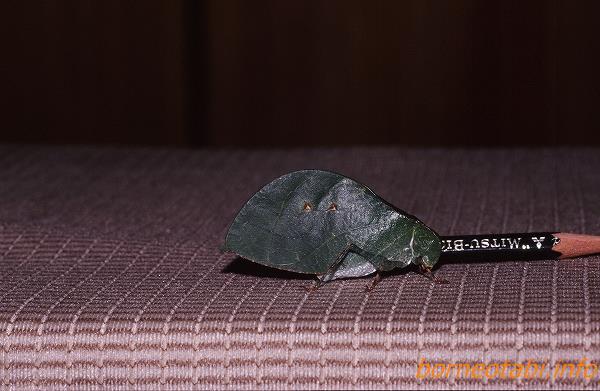 葉っぱのようなコノハツユムシの仲間 1998年12月ダナンバレー
