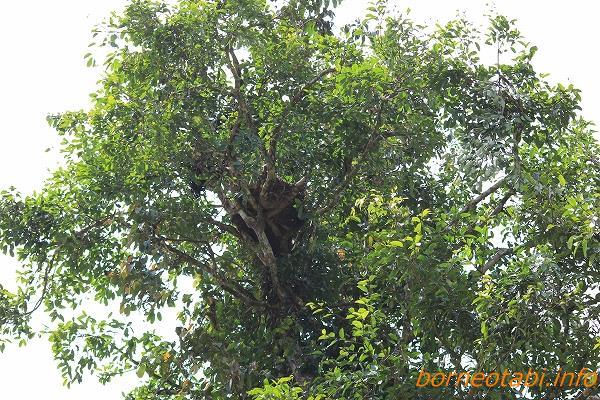 オランウータンの巣 2012年6月30日
