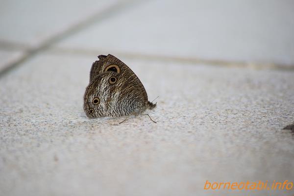ウラナミジャノメに似たチョウ 2014.2.11 コタキナバル