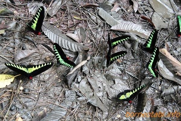 アカエリトリバネアゲハオス2012年7月26日 ムル