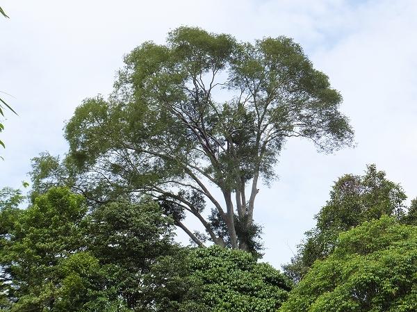 こういう高い木にいるコウモリダカ 2014年2月13日 ムル