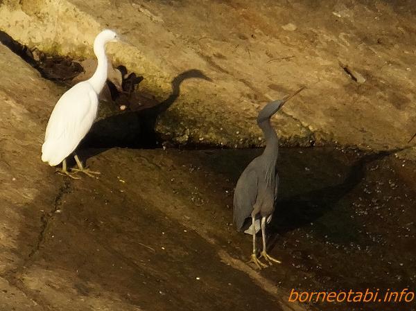 クロサギ 2014年2月14日 コタキナバル 左の白いのもクロサギで白色型のようです。