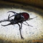 モーレンカンプオオカブト(ボルネオオオカブト) Chalcosoma moellenkampi