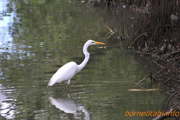 2014年2月11日冬羽(非繁殖羽) Kota Kinabalu Wet land Centre