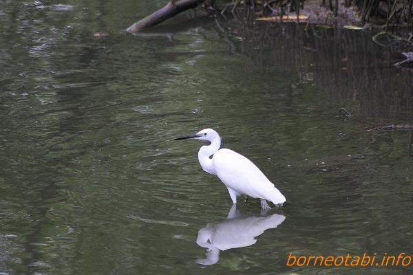 2014年2月11日夏羽(繁殖羽) 目先が青い Kota Kinabalu Wet land Centre