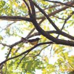 チャノドコバシタイヨウチョウ  Antreptes malacensis
