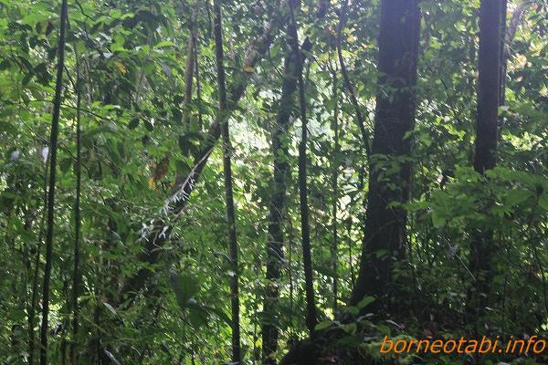 ムカシヒカゲのいるジャングル 昼なお暗い 2014.2.12 ムル