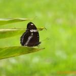 リュウキュウムラサキ Hypolimnas bolina(Great Egg Fly)