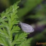 クロテンシロチョウ Leptosia nina(Psyche Butterfly)