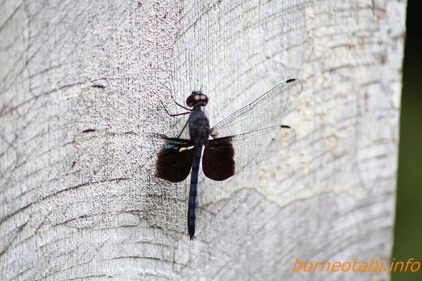 ボルネオシオカラトンボ(仮称)2012.7.25 ムル