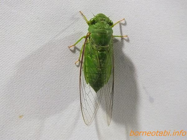 眼まで緑のミドリゼミの一種 2012年6月27日 キパンディバタフライパーク