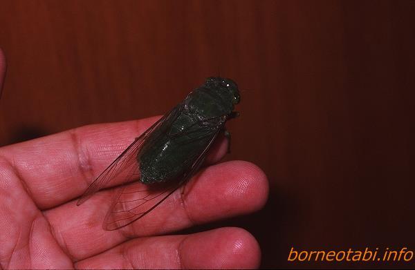 眼まで緑のミドリゼミの一種 1998年12月 ダナンバレー