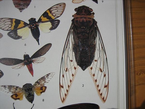 世界の昆虫Ⅰ 保育社 2006.4.6 ぐんま昆虫の森 クロテイオウゼミ