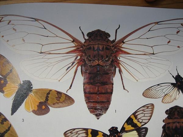 世界の昆虫Ⅰ 保育社 2006.4.6 ぐんま昆虫の森 テイオウゼミ