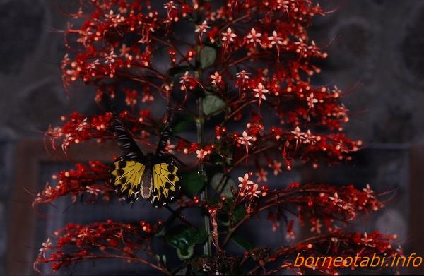 ヘレナキシタアゲハ メス 1998年12月 ダナンバレー