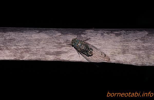 ツクツクボウシより少し大きいセミ 1998年12月 ダナンバレー