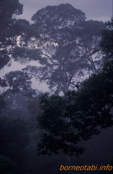 ボルネオの森 1998年12月 ダナンバレー