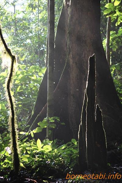 ボルネオの森 2012.7.2 ダナンバレー