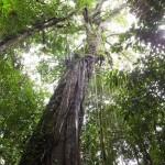 ムル国立公園内の植物:樹木編