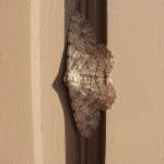 キナバル公園で、朝ロッジの扉にいたシャクガ