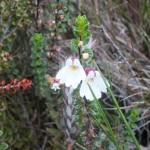 キナバル山高山帯で見かけたヒナコゴメグサのような花