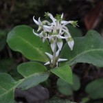 キナバル山で見かけた名前のわからない花2種