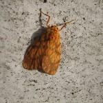キナバル公園で見かけたノメイガ(?)2種