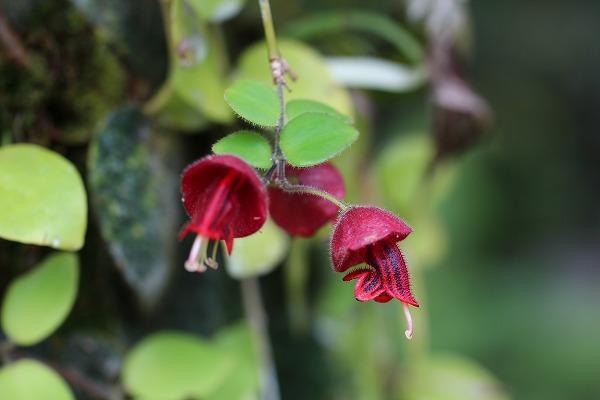 ジャングルに咲く花、ムル