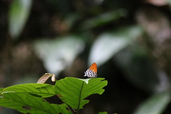 2012.7.26 ラビンドラオナガシジミ、ムル