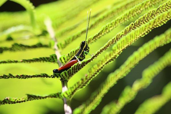 2012.7.27 赤いモモのバッタ、ムル