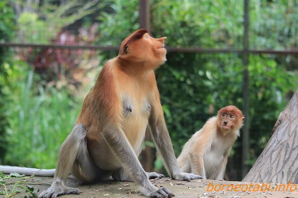 テングザルオスと子ザル  2012.6.29 ロッカウィ動物園