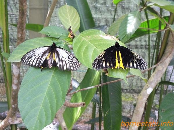 アンフリサスキシタアゲハ雄雌(左)、キパンディバタフライパーク 2012.5.23