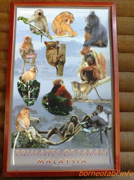 ボルネオレインフォレストロッジのロビーに貼ってあるサバ州のサルのポスター 2012.6.30