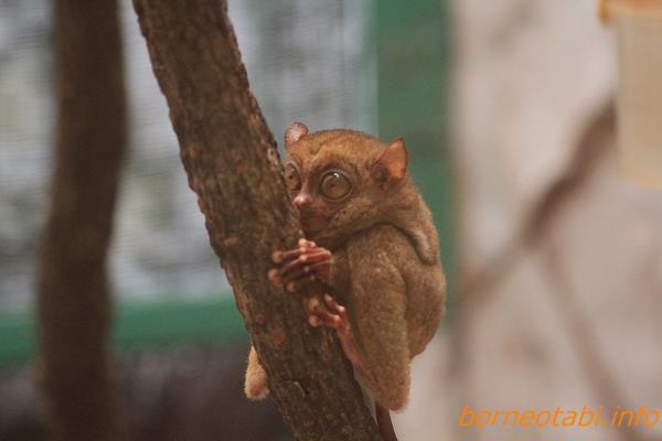 ニシメガネザル  2012.6.29 ロッカウィ動物園