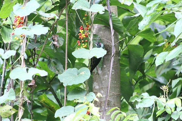 ミドリカラスモドキ成鳥  2013.1.16 コタキナバル