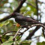 ボルネオのマムテック島で会ったやかましい鳥ミドリカラスモドキ