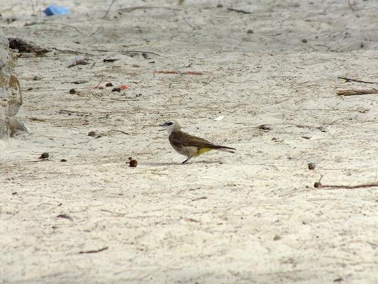 メグロヒヨドリ 2012.6.28 マムテック島