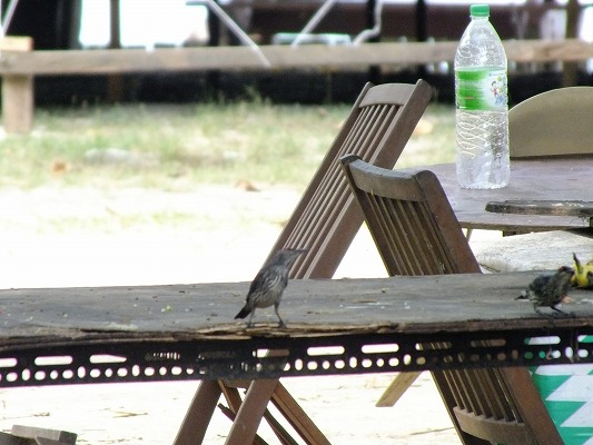 ミドリカラスモドキ  2012.6.28 マムテック島