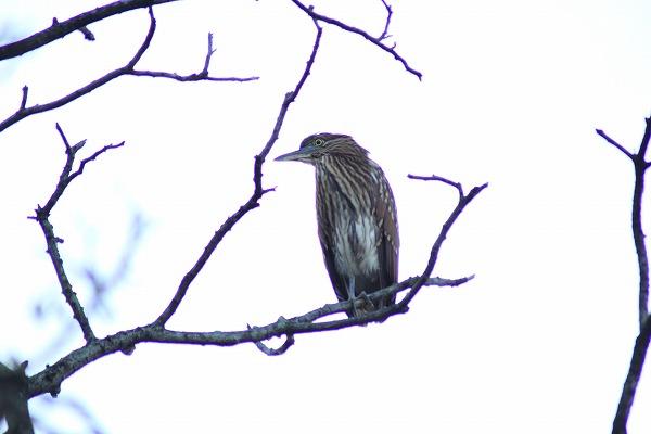 ハシブトゴイ幼鳥 2017.2.19