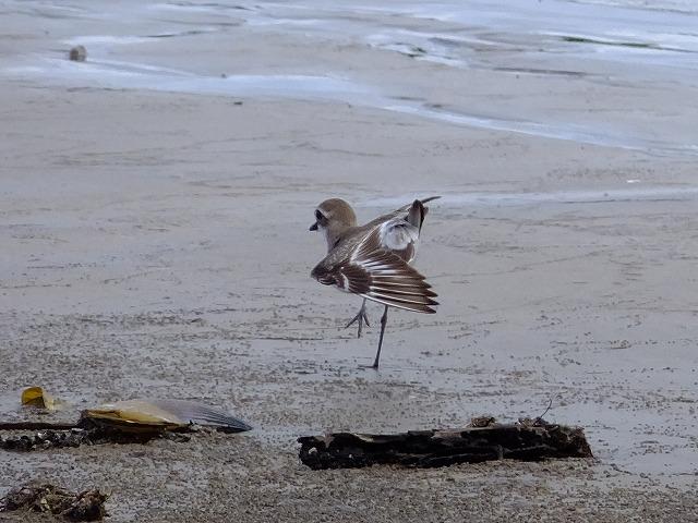 オオメダイチドリ幼鳥