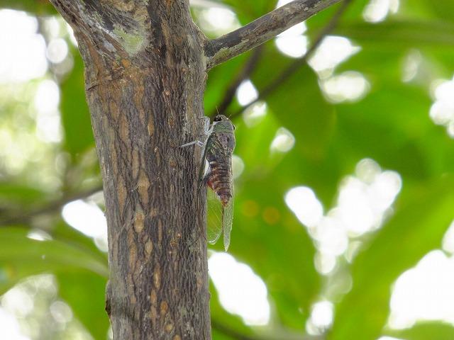 マングローブ林のセミ