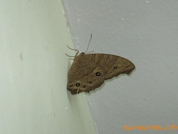 ウスイロコノマチョウ Melanitis leda (Common Evening Brown)